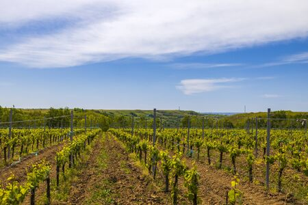 A young vineyard on a sunny spring day Foto de archivo
