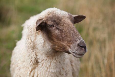 woolly: sheep portrait on a field