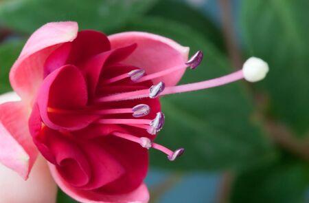 fuchsia flower: Detail of pink fuchsia flower Stock Photo