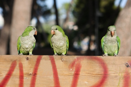 Three green little parrots siting photo