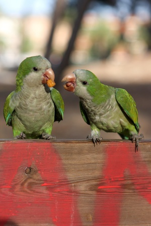 Two green little parrots eating