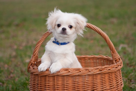White pekinese puppy in basket Stock Photo