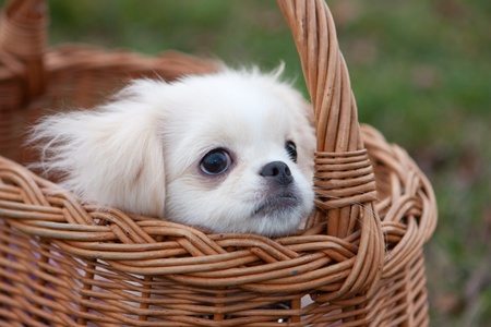 White pekinese puppy in basket Stock Photo - 13355274