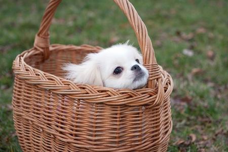lapdog: White pekinese puppy in basket Stock Photo