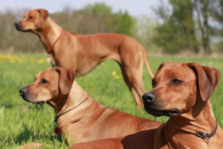 Three Rhodesian Ridgeback dogs are in alert