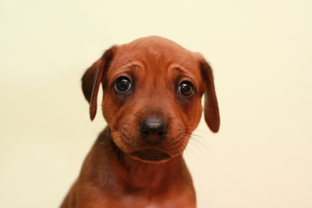 Beautiful Rhodesian Ridgeback puppy watching