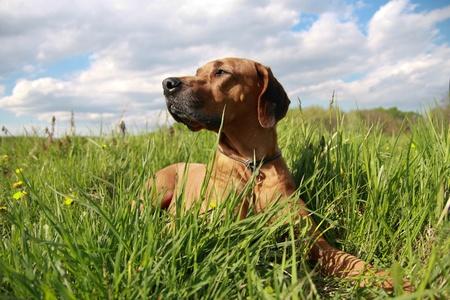 Rhodesian Ridgeback dog in grassland Stock Photo