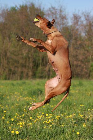 ridgeback: Rhodesian Ridgeback dog jumping in grassland