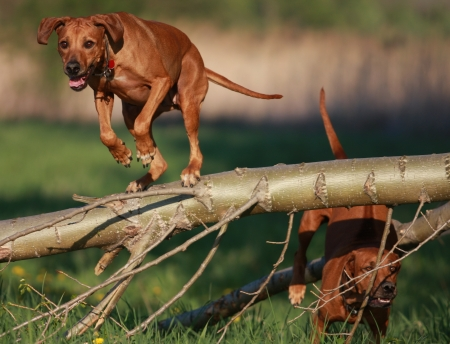 Rhodesian Ridgeback dog jumping over log Stock Photo