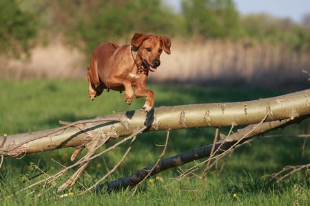 romp: Rhodesian Ridgeback dog jumping over log Stock Photo