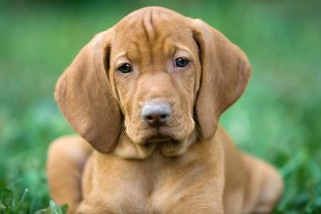 portrait Hungarian Viszla puppy on grass