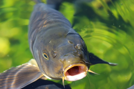 Carp looking from green water