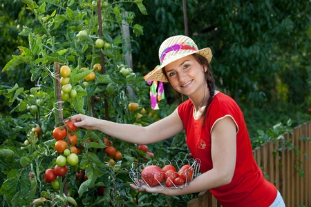 growing plant: Young gardener woman harvesting tomatoes Stock Photo