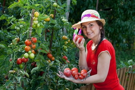 Young gardener woman harvesting tomatoes Stock Photo