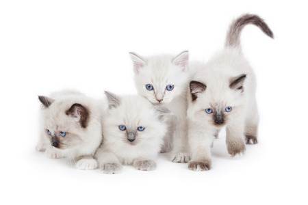 4 Cute Ragdoll kittens on white background