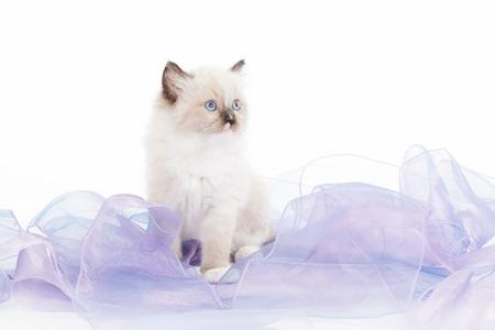 ragdoll: Cute Ragdoll kitten on white background