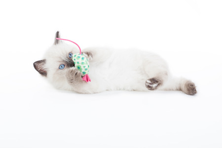 Ragdoll kitten playing with toy mouse on white background photo
