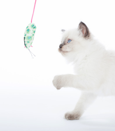ragdoll: Ragdoll kitten playing with toy mouse on white background