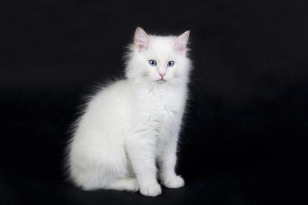 ragdoll: Ragdoll cat on black background