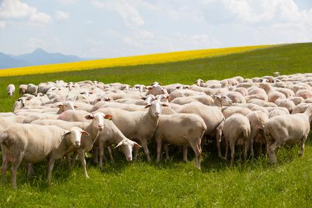 grazing: Grazing sheep on a field
