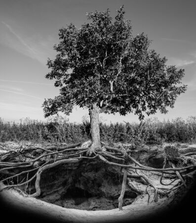 burrow: Tree with roots and burrow. Black and white