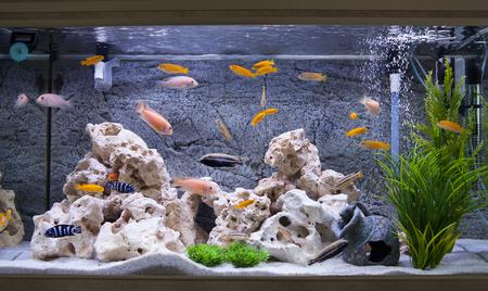 マラウイ湖のシクリッドフィッシュの水族館