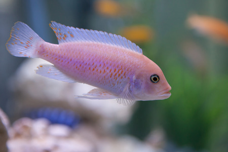 Pseudotropheus Zebra. Cichlid fish from lake malawi. Stock Photo