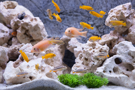 Aquarium with cichlids fish from lake malawi