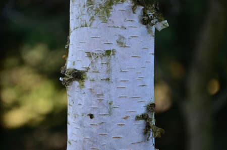 white trunk of a birch Stock Photo - 19157466