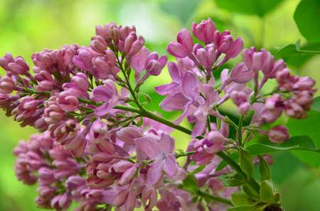 lilac twig photo