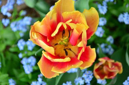 orange tulip photo