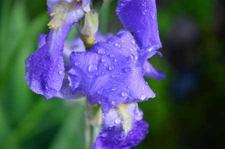blue iris flower photo
