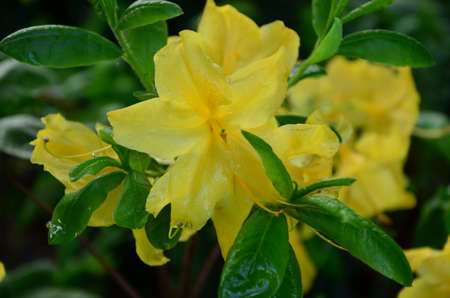 yellow flowers-azalia photo