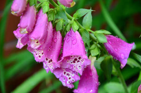 foxglove flower photo