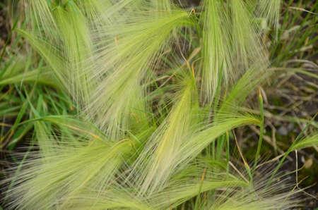 barley maned Stock Photo - 20572386