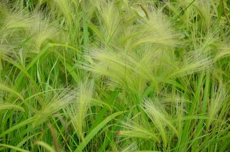 barley maned Stock Photo - 20572389