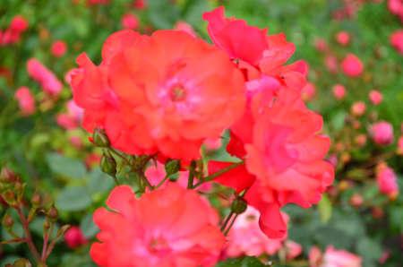 bourgeon: red rose Stock Photo