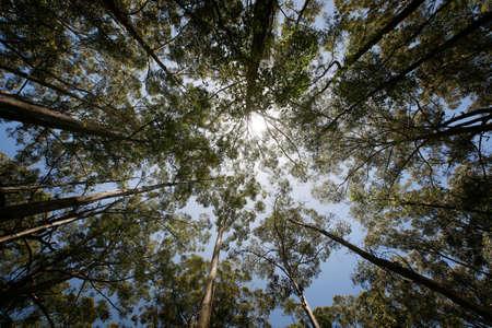 karri: Tall eucalypts (karri trees) in South West region of Western Australia.