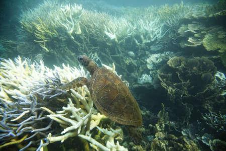 reefs: Green turtle swimming through the coral reef, Ningaloo Reef, Western Australia. Stock Photo