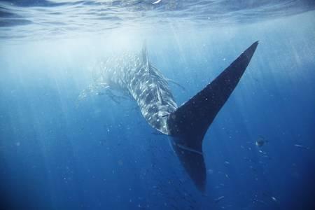 aletas: El pez m�s grande del mundo, rodeado de la gran escuela de otros peces diferentes.