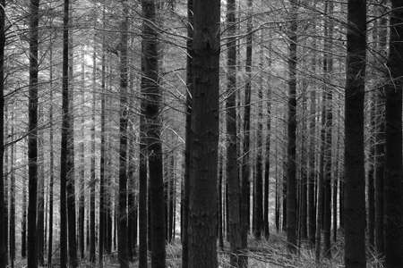 rendition: Silent were the pine trees in New Zealand - black and white rendition.  Stock Photo