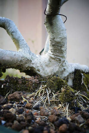 deep roots: Deep spreading roots of bonsai plant, with moss covering.