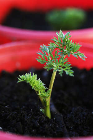 This is Daucus carota, also known as the common carrot plant.