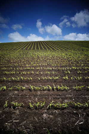 Golden corn field in a spring day. Stock Photo