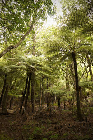 Walking and hiking through virgin rainforest in New Zealand with giant tree ferns.  Stock Photo