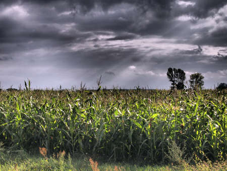 Severe corn field bathed in the storm clouds hdr photo