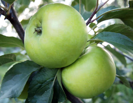 Two green apples hanging on a tree
