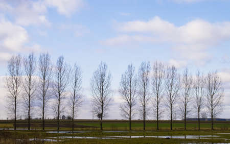 Birch standing in a line against the sky and fields