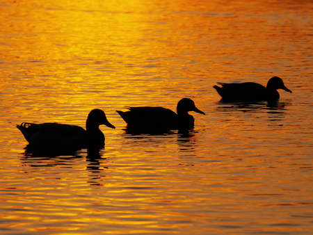 Three ducks on the lake, which reflects the sunset  Stock Photo