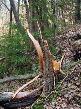 Broken tree trunk in the forest
